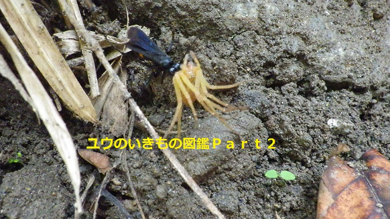 クモバチ科の一種