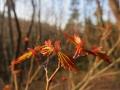 ヤマツツジの新葉
