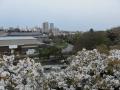 御室桜から
