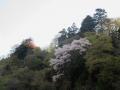 山桜と若葉