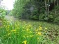 長沼のキショウブ