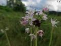 ノビルの花と珠芽