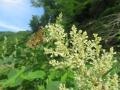 オチャバネセセリとイタドリの花