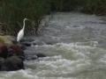 チュウダイサギと広瀬川