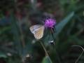 スジグロシロチョウと薊