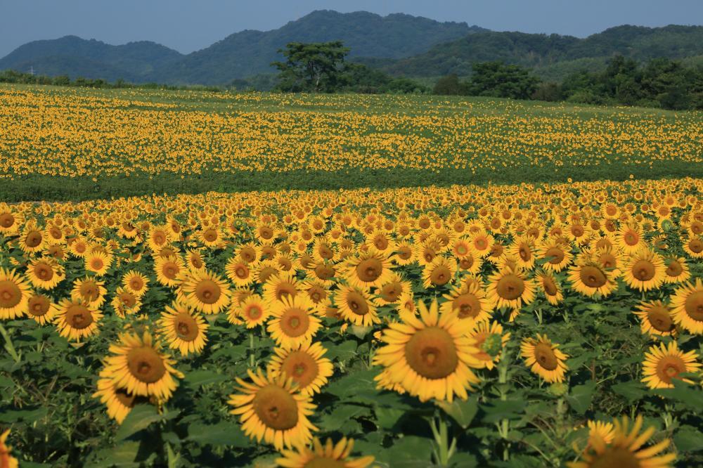 向日葵畑の朝