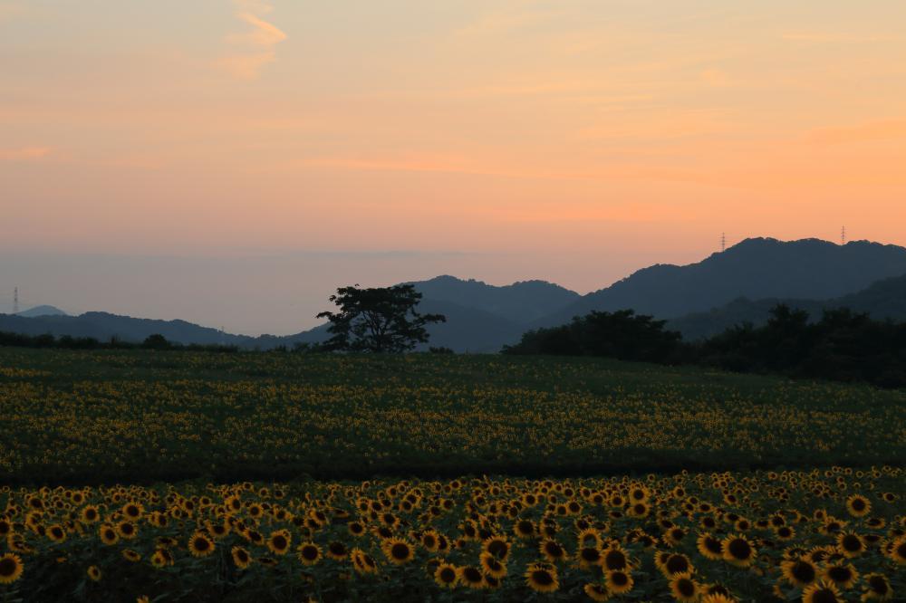 向日葵畑の夕暮れ