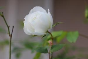 もうすぐ開花4
