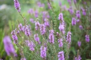 lavendor2.jpg