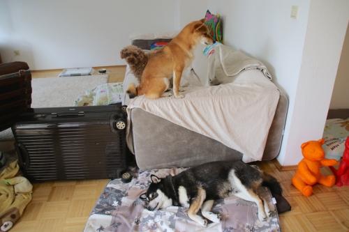 ソファの横で寝るロザの上