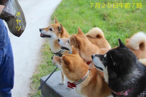 柴犬4匹餌づけ中