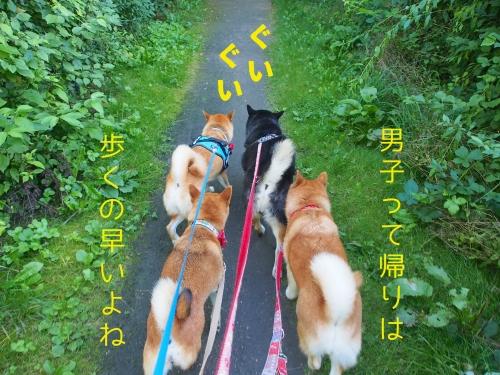 群れない柴犬が群れる時3