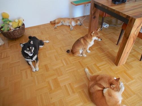 群れない柴犬が群れる時1