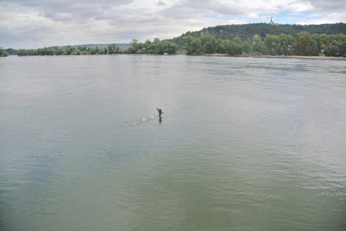 ライン川と鵜