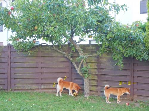 リンゴの木と柴犬