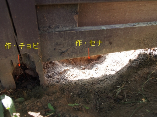 チョビが噛んだ後