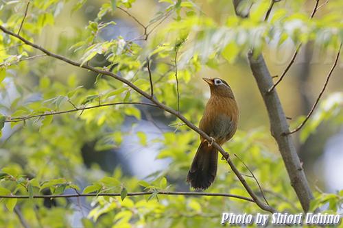 ガビチョウ(画眉鳥,学名_Garrulax canorus)