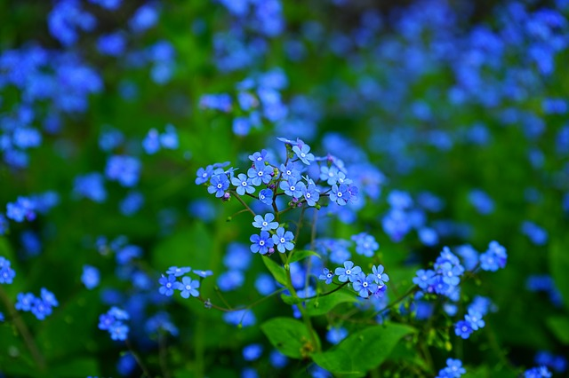 forget-me-not-1365857_640.jpg