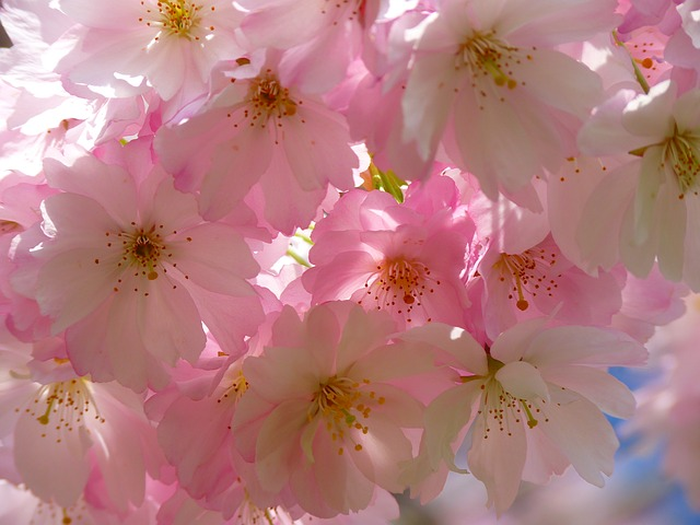 japanese-cherry-trees-6344_640.jpg