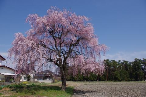 枝垂桜その3