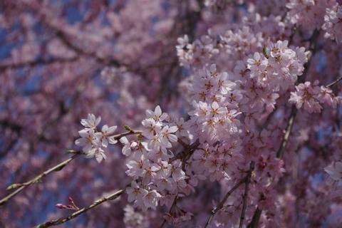 枝垂桜その4