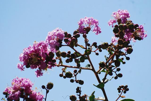 隣のサルスベリの花