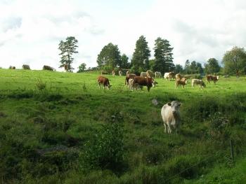 牛の群れ発見