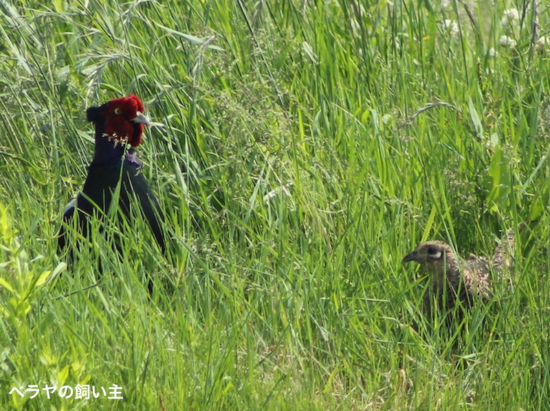 BNK_Pheasant Couple_IMG_8355 3