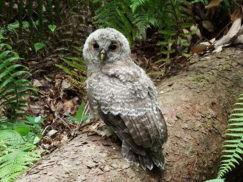 フクロウ幼鳥 (6)