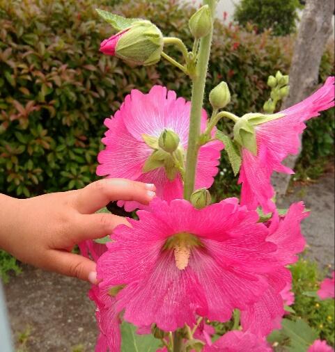 タチアオイの薄くて柔らかい花びら