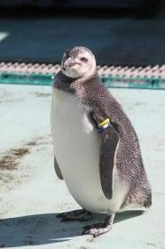 ペンギン ヒナ