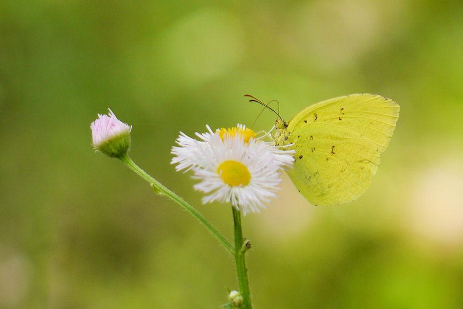 花にキチョウ
