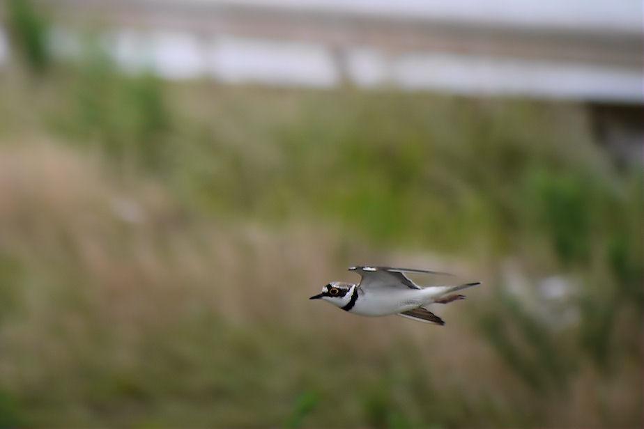 コチドリ 飛翔