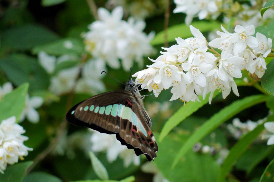卯の花に蝶