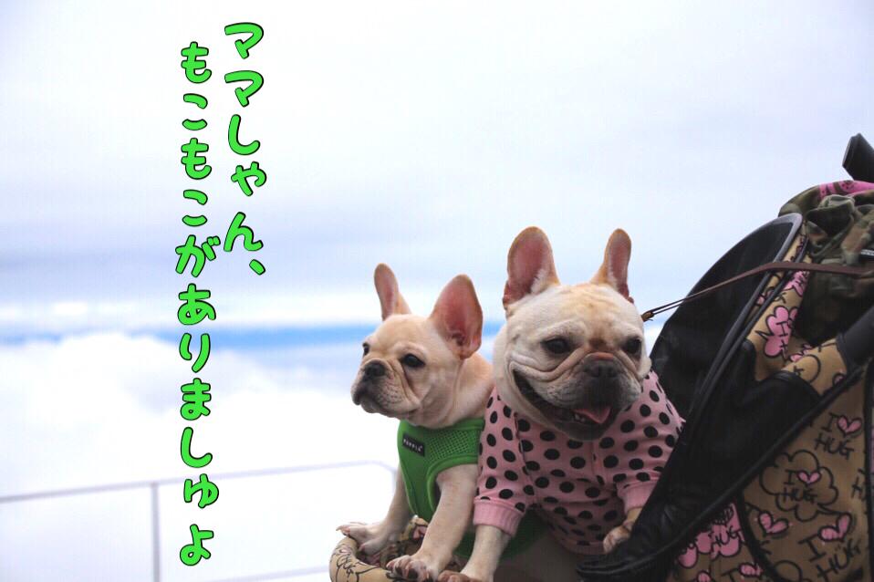 フレブル 子犬 琵琶湖バレイ 4
