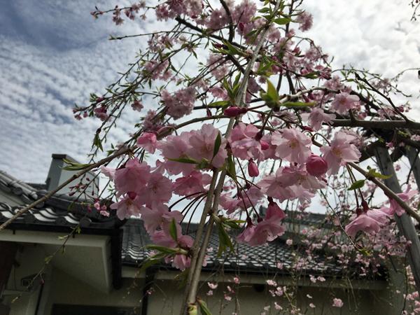 01-1桜