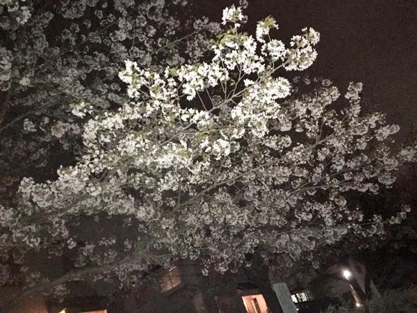 03 夜桜