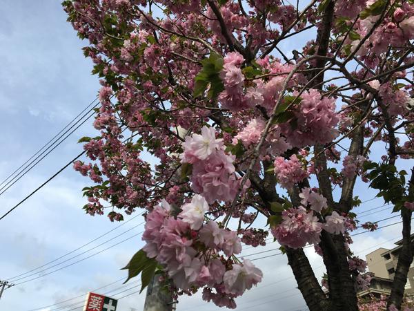 00桜 のコピー