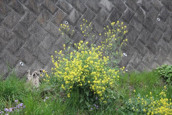 18菜の花