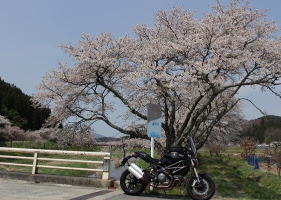 夏井千本桜 お花見場所から遠く離れた橋