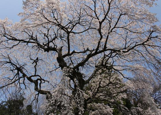 見上げた宮のしだれ桜