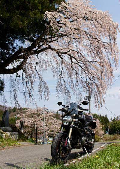 堂山王子神社の桜1