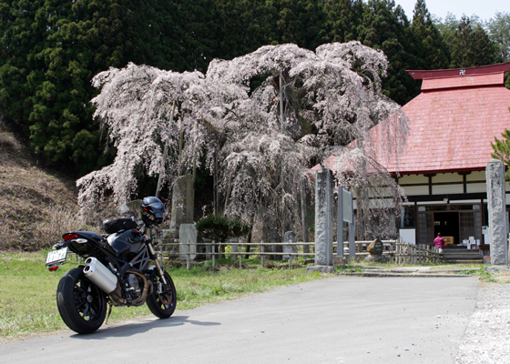 永泉寺の桜をバックに