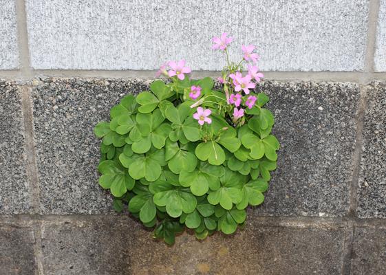 ブロック塀から花