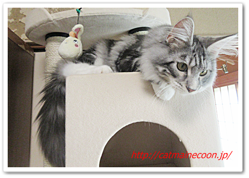 メインクーンの仔猫シルル生後6ヶ月