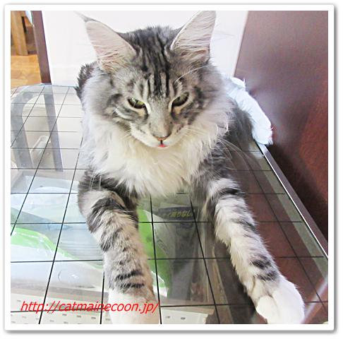 メインクーン猫のシルル生後7ヶ月。
