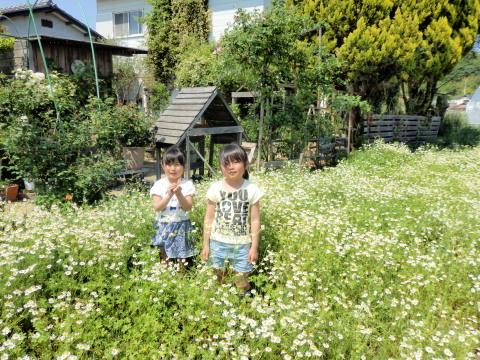 カモミール畑2