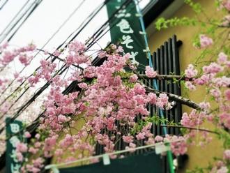 16-4-5 店桜