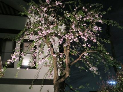 16-4-8 桜2