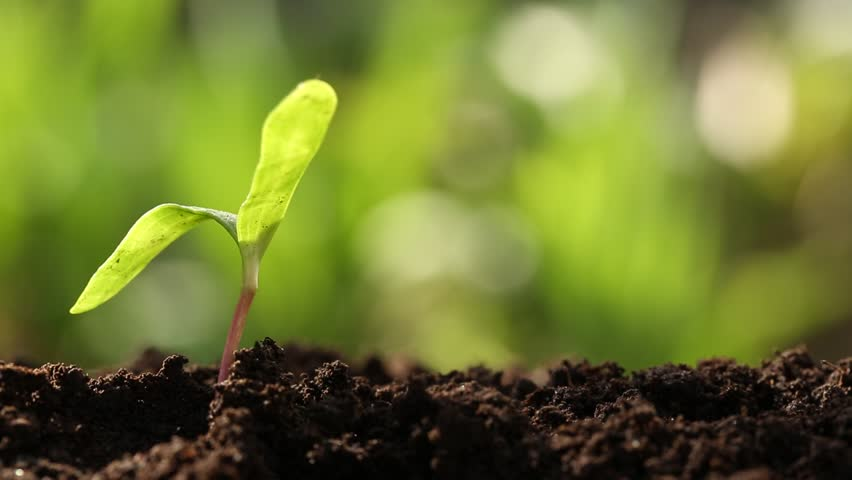 1sunflowersprout.jpg